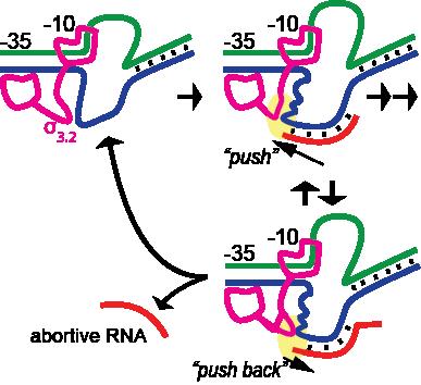 E coli RNA polymerase hybrid push model