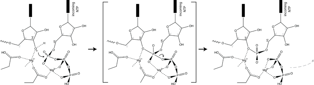 Illustrate the active site and its function